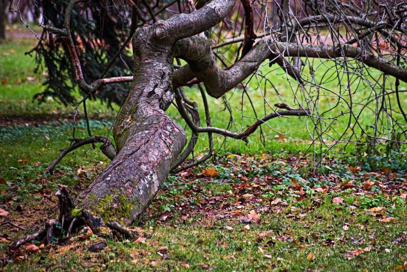 Wichrowaty drzewo naciska przeciw ziemi fotografia royalty free