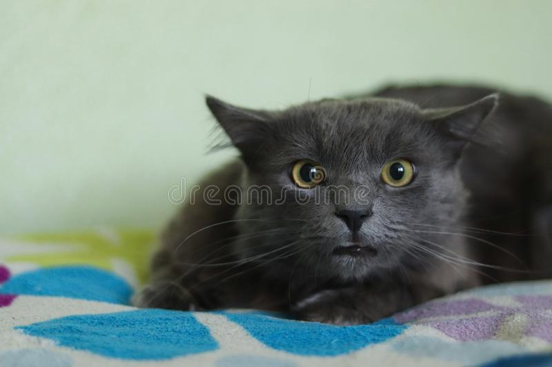 Wicked look of a gray longhair cat Nebelung. The cat has large amber eyes. Predatory cat.  stock photos