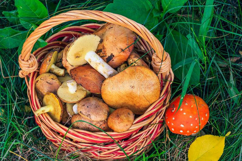 Wicker basket with edible mushrooms and toxic and dangerous amanita on grass stock image
