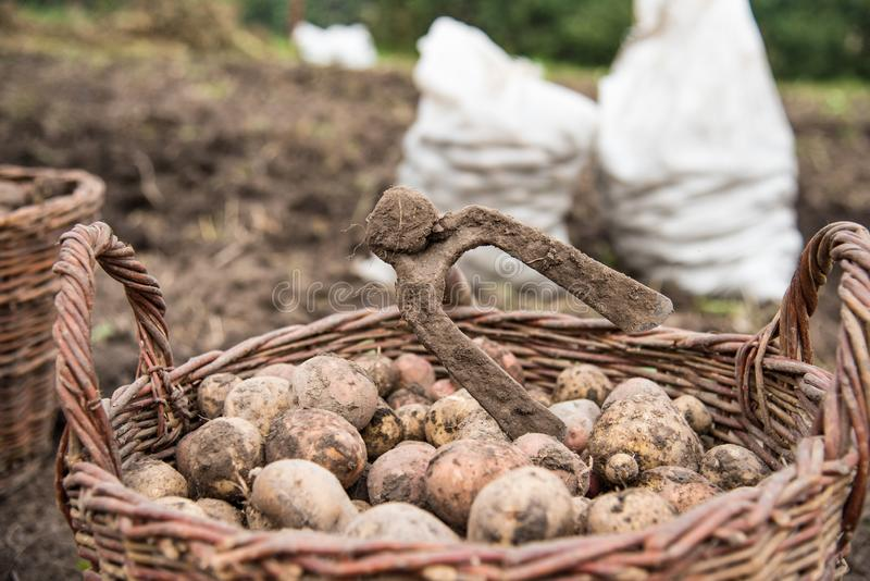 The wicker basket is filled with freshly dug potatoes, close up. On basket there is hoe - hand tools for potato digging. Harvest time royalty free stock photo