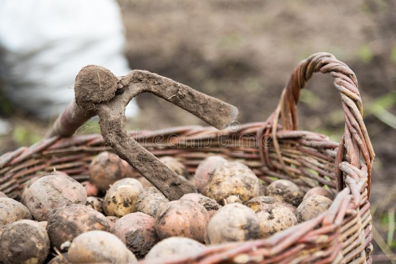 The wicker basket is filled with freshly dug potatoes, close up. On basket there is hoe - hand tools for potato digging. Harvestin stock photo