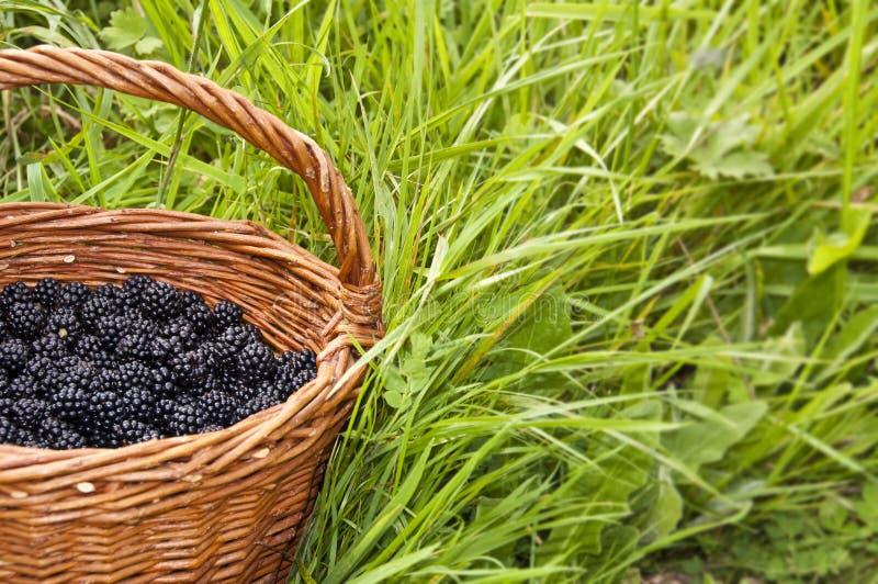 Wicker basket full of blackberries royalty free stock photo