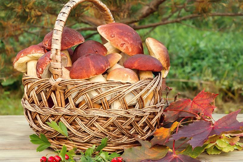 Wicker basket full of Edible forest mushrooms boletus edulis f. pinophilus known as king bolete, penny bun and sep on wooden table. Closeup , autumn still life royalty free stock image