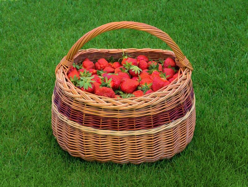 Wicker basket full of ripe garden strawberries on green grass. Fresh home grown strawberry in basket. stock photo