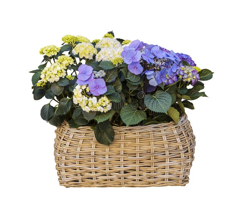 Wicker basket with hydrangea flowers, white and blue on a white background royalty free stock photo