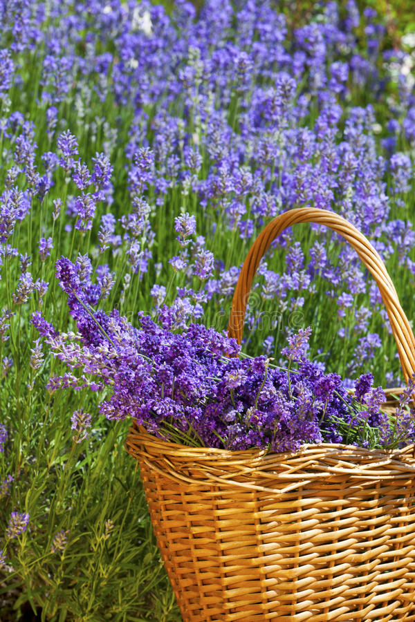 Wicker basket with lavender. Wicker basket with freshly picked lavender in front of a lavender field in summer stock images