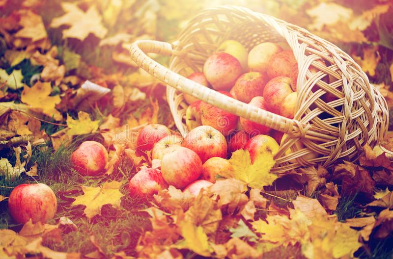 Wicker basket of ripe red apples at autumn garden. Farming, gardening, harvesting and people concept - wicker basket of ripe red apples at autumn garden royalty free stock photography