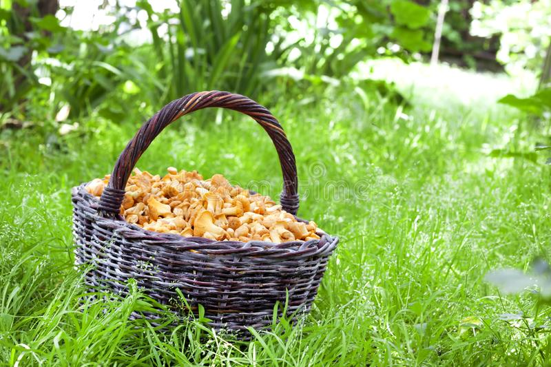 Wicker basket with wild mushrooms chanterelles on grass background. Wicker basket with wild mushrooms chanterelles on green grass background royalty free stock photo