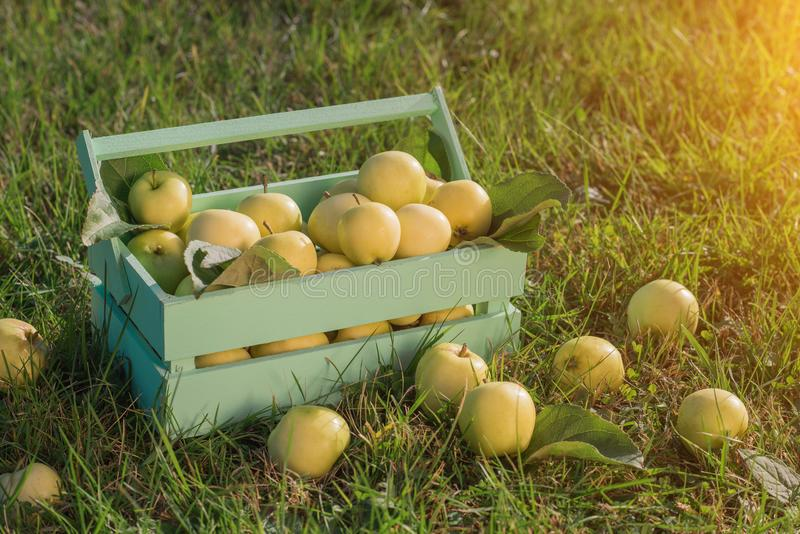 Wicker Basket with Yellow Apples in the Garden. Wicker Basket with Yellow Apples in the Garden stock photography