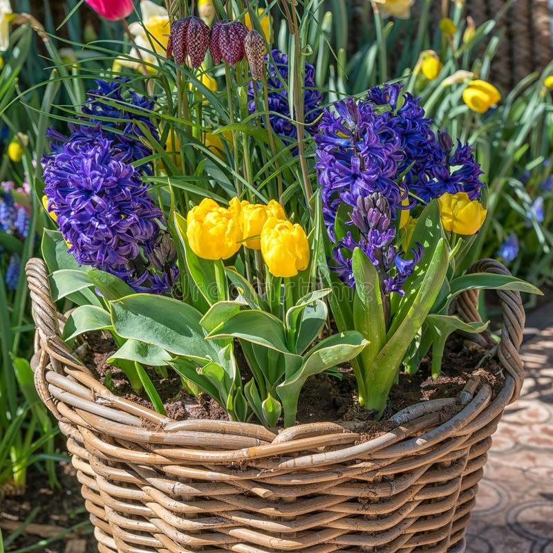 Wicker basket with yellow tulips and blue hyacinths stock photo