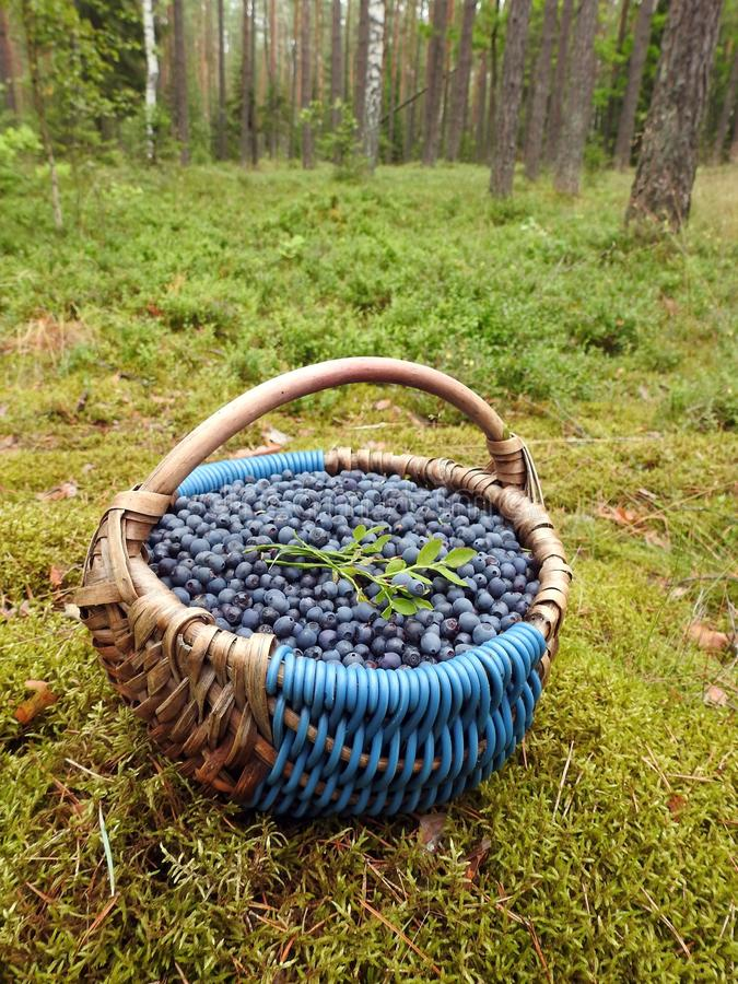 Wicker with ripe blueberries, Lithuania royalty free stock image