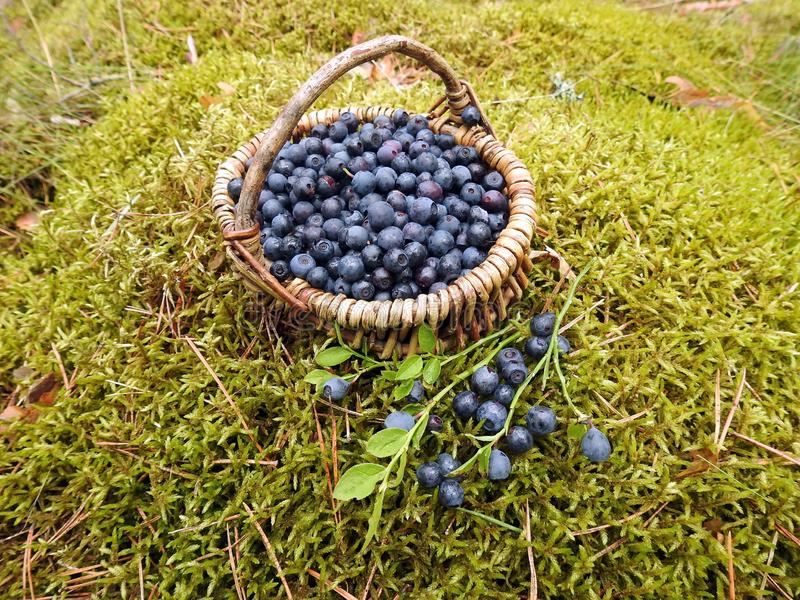 Wicker with ripe blueberries, Lithuania stock images