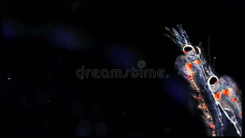 Widłonoga zooplankton krill w słodkowodnym i Morskim poniższym mikroskopie zdjęcie royalty free