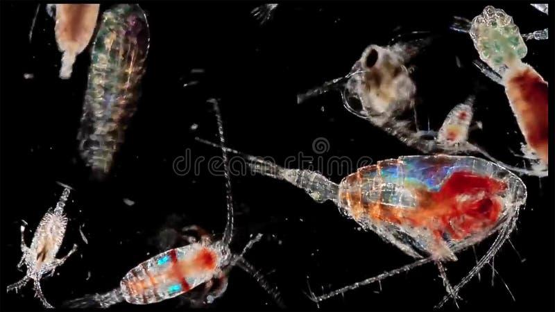 Widłonoga zooplankton krill w słodkowodnym i Morskim poniższym mikroskopie fotografia royalty free