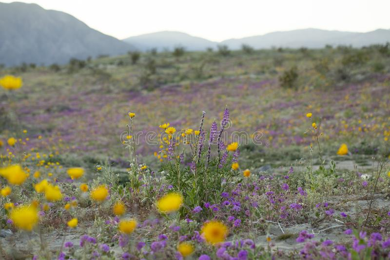 wide angle field of purple and yellow wildflowers royalty free stock photos