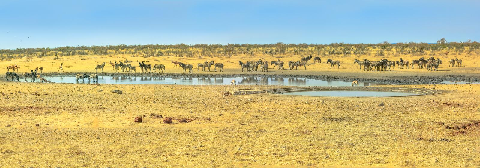 Etosha waterhole animals stock photos
