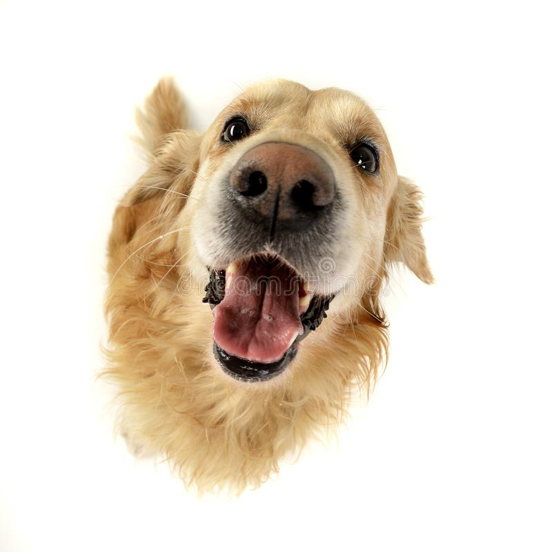 Wide angle portrait of an adorable Golden retriever royalty free stock photography