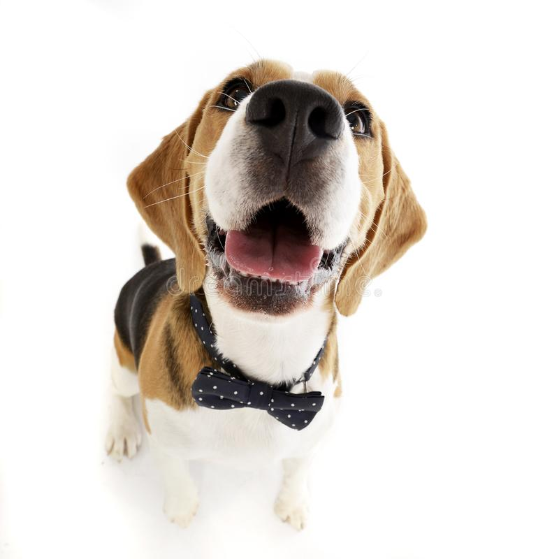 Wide angle shot of an adorable Beagle. Sitting on white background stock photos