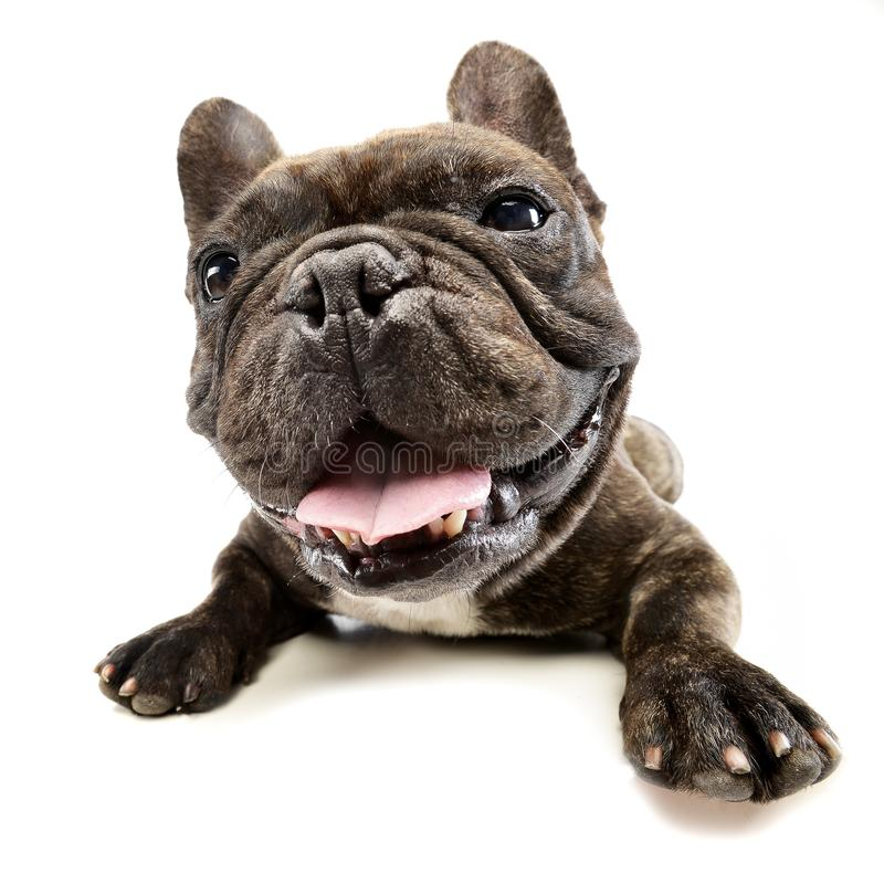 Wide angle shot of an adorable French bulldog. Studio shot, isolated on white stock photos