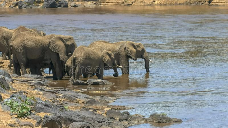 Wide angle shot of an elephant herd drinking from the mara river in kenya. Wide angle shot of an elephant herd drinking from the mara river in maasai mara game royalty free stock photography