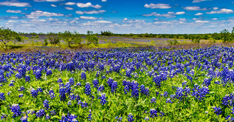 Wide Angle Shot of a Field Blanketed with the Famous Texas Bluebonnet Wildflowers royalty free stock image