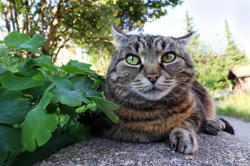 Wide-angle shot of a funny looking fat cat.  royalty free stock photos