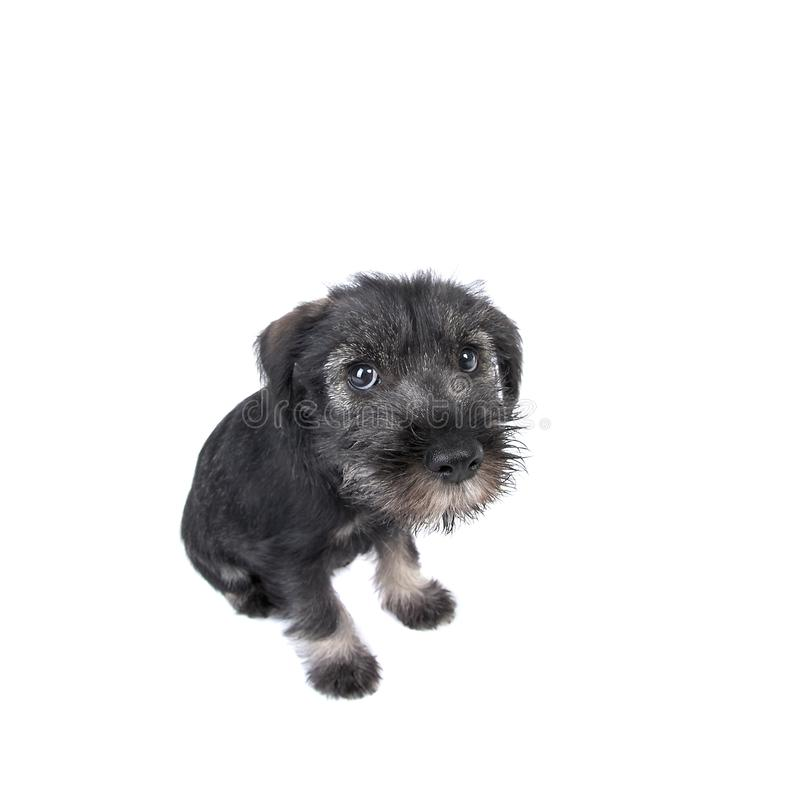 Wide-angle shot of small lonely mittelschnauzer puppy. royalty free stock image