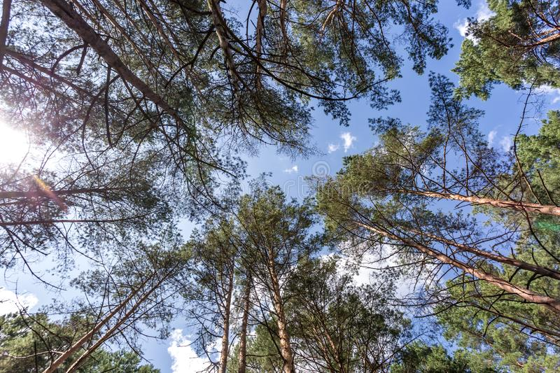 Wide angle shot of trees growing in the sky. tall pine forest.  stock photos