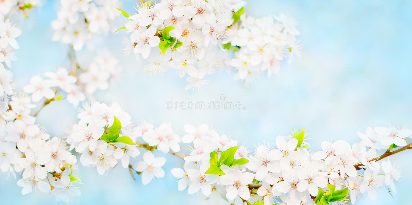 Wide Angle Spring background with cherry flowers royalty free stock photography