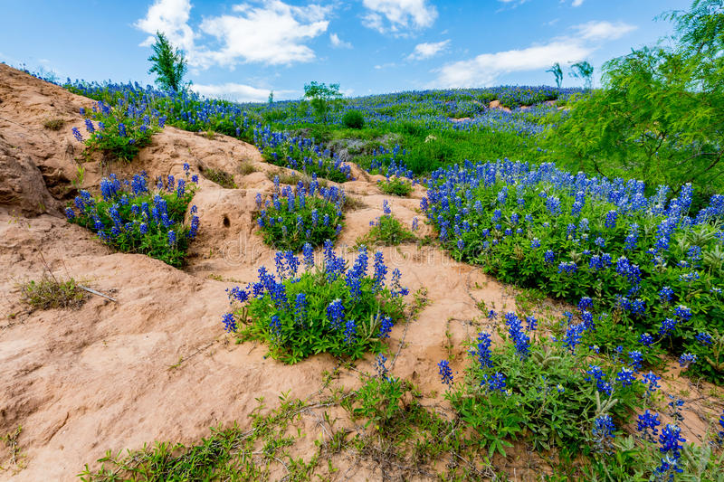 Wide Angle View of Famous Texas Bluebonnet (Lupinus texensis) Wi stock photos