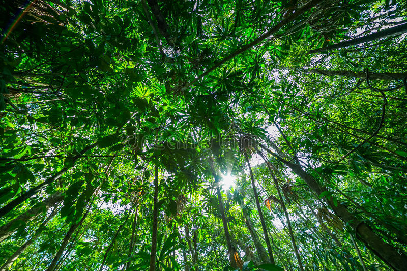 Wide angle view looking up at the tree tops. In rain forest stock photography