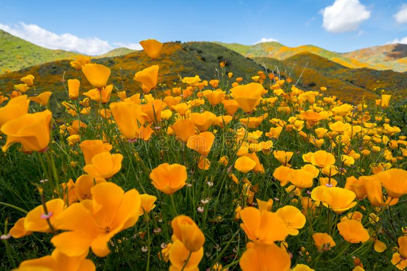 Wide angle view of orange poppies at Walker Canyon in Southern California during the super bloom.  royalty free stock photography