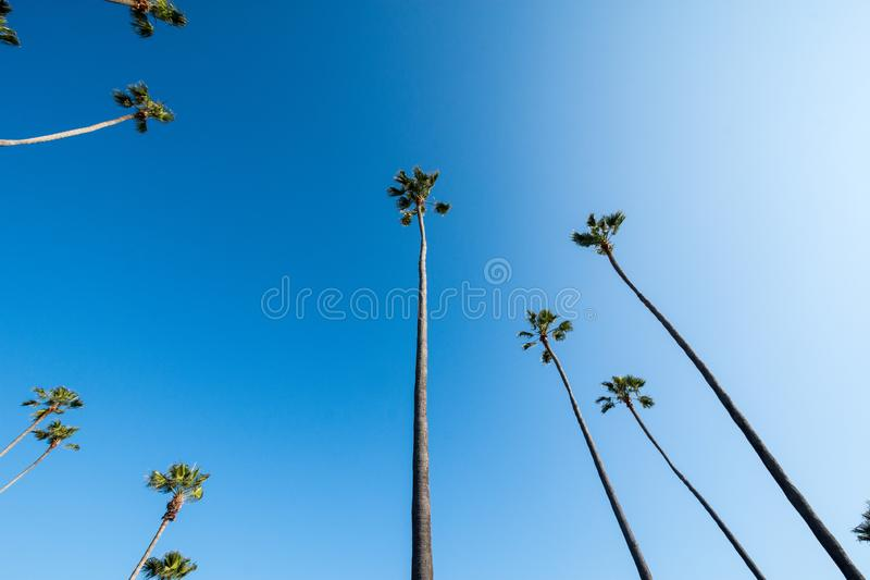Wide angle view of palm trees in Laguna Beach California, looking up against blue sky. Copy space included royalty free stock photography