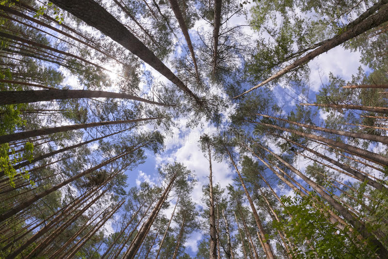 Wide Angle View Of Pine Forest Royalty Free Stock Images