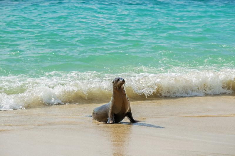 Young Galapagos Sea Lion, Galapagos Islands, Ecuador. Wide angle view and portrait of a young Galapagos Sea Lion Zalophus wollebaeki coming out of the turquoise royalty free stock image
