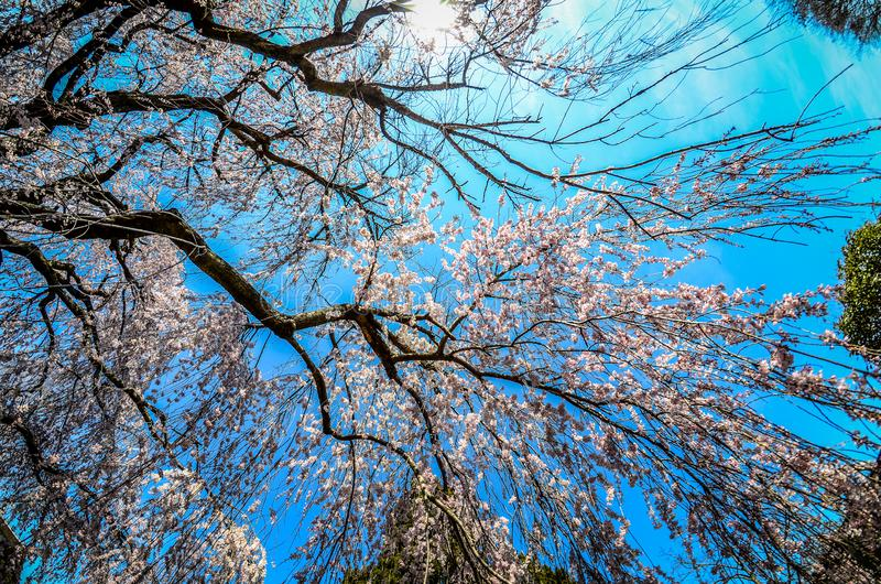 Wide angle view of a weeping cherry blossom tree, looking up at the sky. Taken at the National Arboretum in Washington DC. Wide angle view of a weeping cherry stock photography