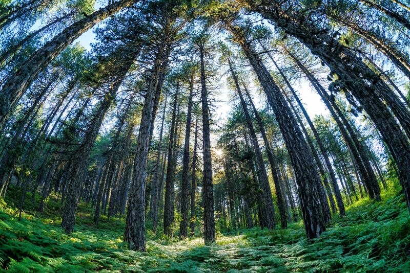 Wide angled view of pine forest stock images