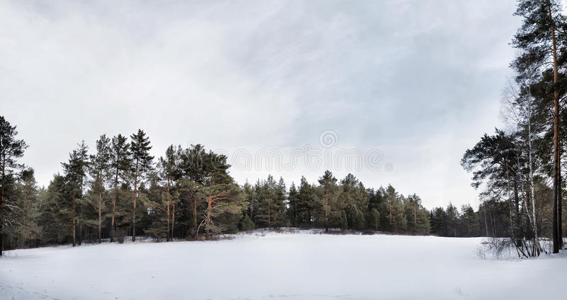 Wide beautiful glade in a winter pine forest stock image