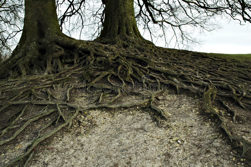 Download Wide branched roots stock photo. Image of unusual, grown - 3101180