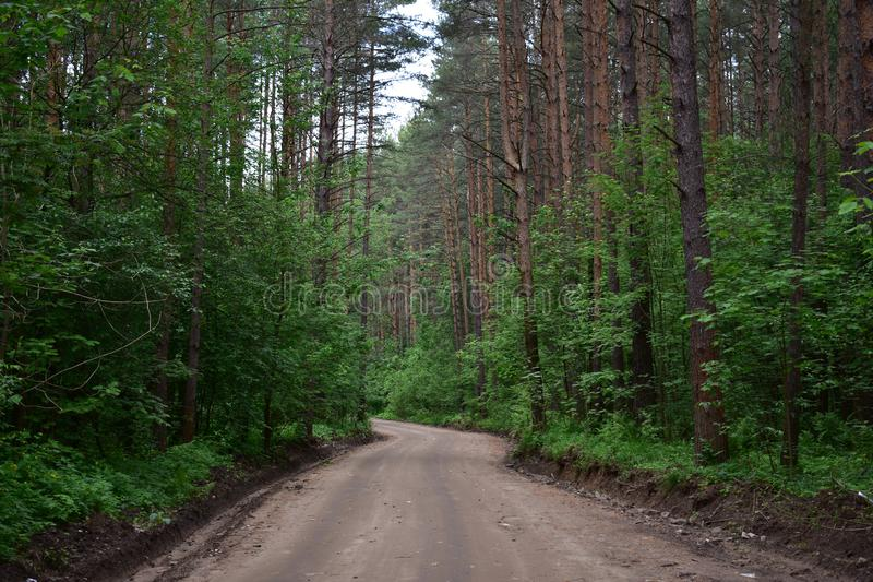 The wide dirt road through the shady pine forest. Grows on sandy hills alternating with broad uniformity of the shafts royalty free stock photos
