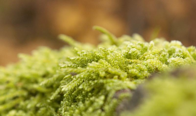 Wide extreme closeup of green moss. A wide extreme closeup of green moss royalty free stock image
