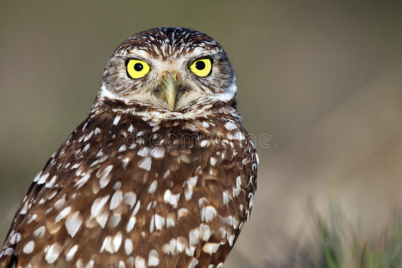 Download Wide-Eyed Burrowing Owl Royalty Free Stock Photography - Image: 13853377