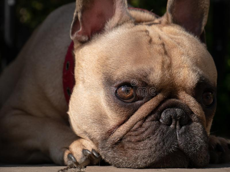 Wide eyed french bulldog dog laid down in garden royalty free stock images