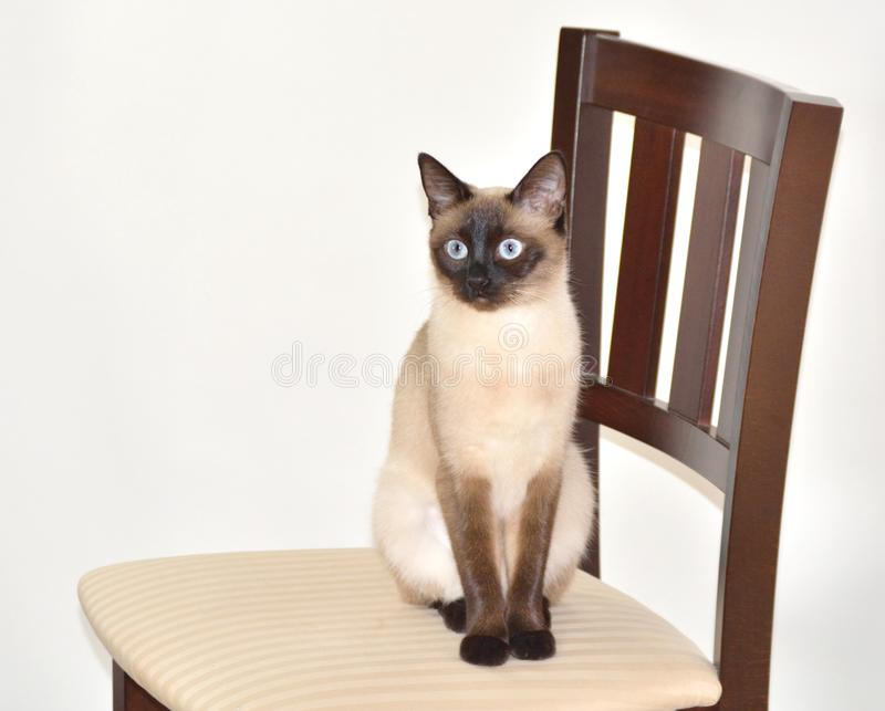 Wide-eyed Siamese Cat on Chair. A wide-eyed siamese cat sits on a chair in front of a neutral background, looking toward the left stock photography