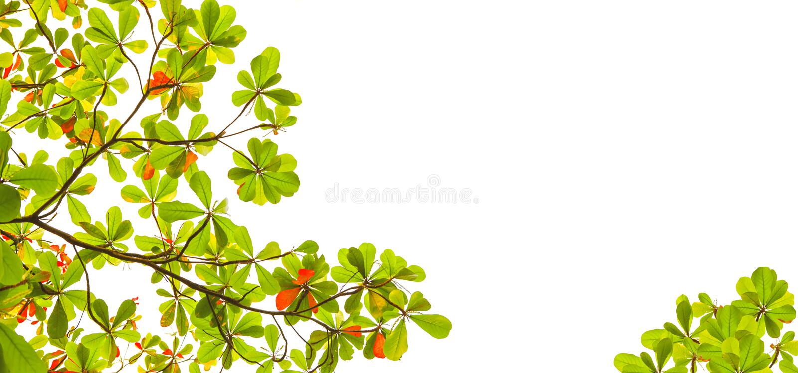 Wide form of green and red sea almond leaves with tree branch isolated on white background use as natural copy space or royalty free stock image