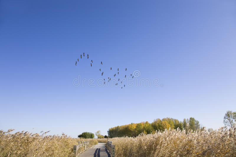 Wide Goose Flying Stock Photos