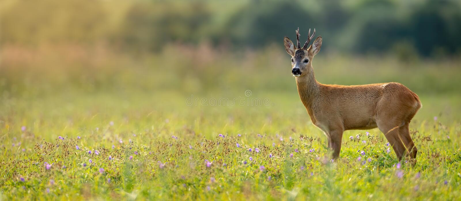 Wide panoramic banner of roe deer buck standing on a meadow in summer at sunset. Wide panoramic banner of roe deer, capreolus capreolus, buck standing on a royalty free stock photography