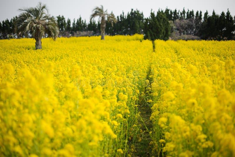 Download Canola plantation stock image. Image of background, field - 29838389