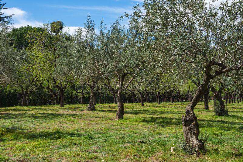 Wide shot of olive grove in spring with blue sky, in a park in Madrid, Spain. Horizontally stock image