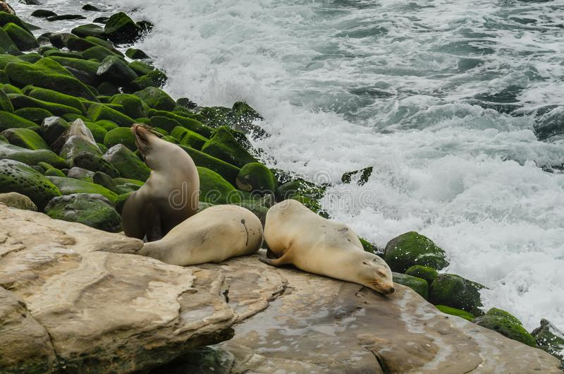 Wide Shot of Sea Lions Sleeping on Rocks. With green rocks and ocean in background stock photography